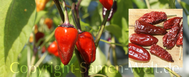 Samen Chili, Chilisamen Black Scorpion Tongue C. annuum Schärfe 9